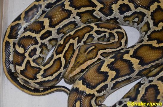 26-python-bivittatus-4.jpg