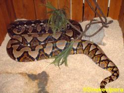 30-broghammerus-reticulatus-reticulatus-4-1.jpg