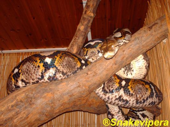 30-broghammerus-reticulatus-reticulatus-7.jpg
