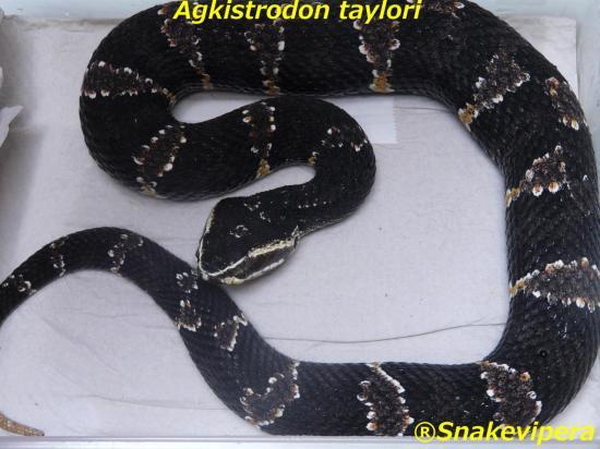agkistrodon-taylori-1.jpg