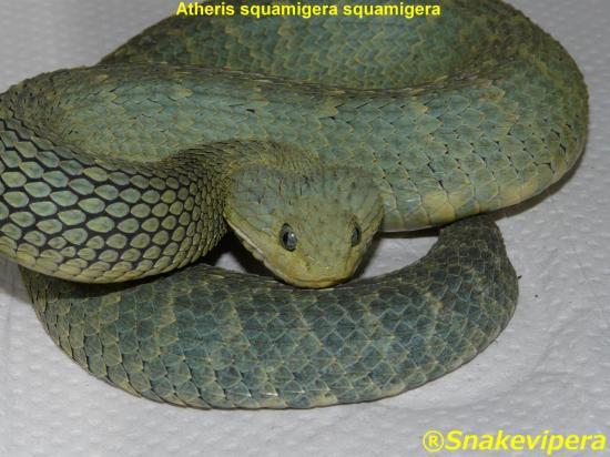 atheris-squamigera-squamigera-11.jpg