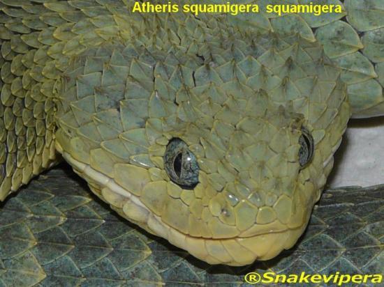 atheris-squamigera-squamigera-5.jpg