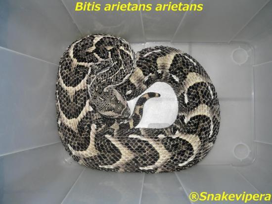 bitis-arietans-5-1.jpg