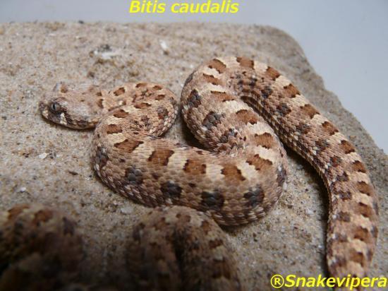bitis-caudalis-56.jpg