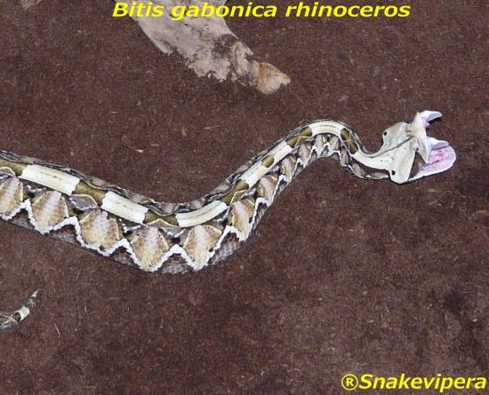 bitis-gabonica-rhinoceros-3-1.jpg