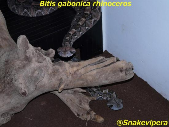 bitis-gabonica-rhinoceros-35-1.jpg
