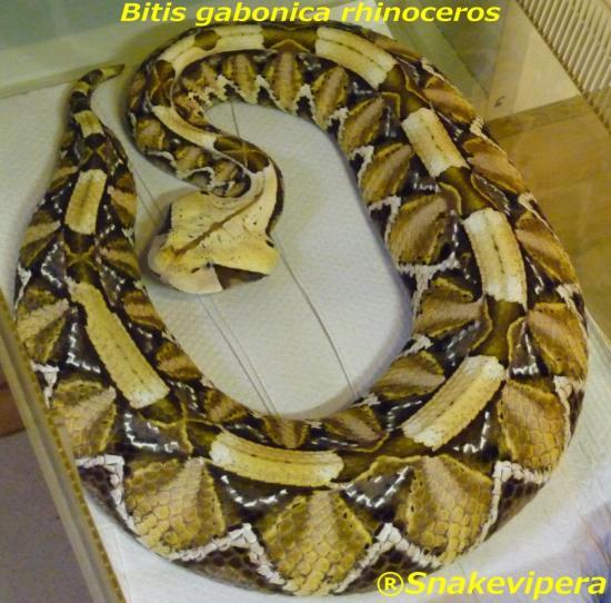 bitis-gabonica-rhinoceros.jpg