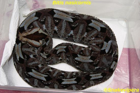 bitis-nasicornis-10.jpg