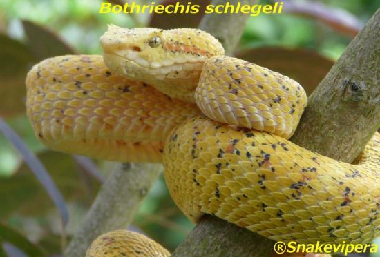 bothriechis-schlegeli-3-1.jpg