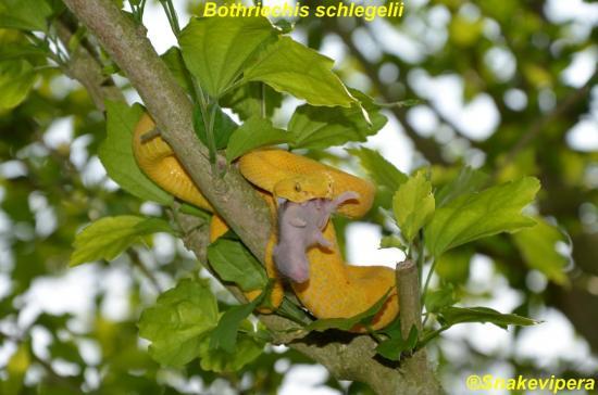 bothriechis-schlegelii-20-copie.jpg