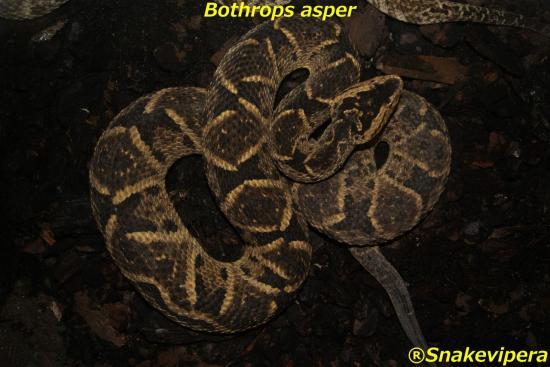 bothrops-asper-1.jpg