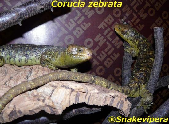corucia-zebrata-14.jpg