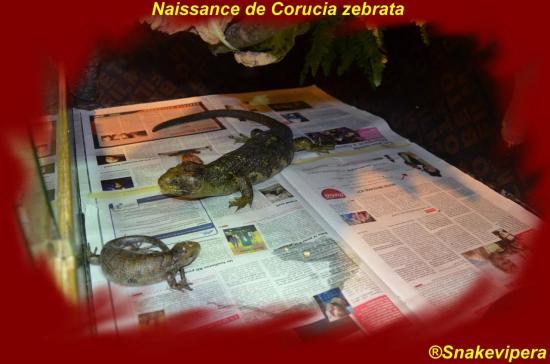 corucia-zebrata-27-copie.jpg