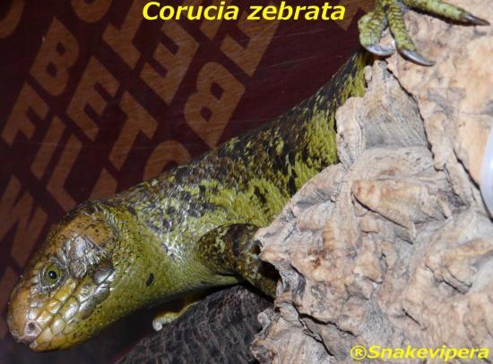 corucia-zebrata-3.jpg