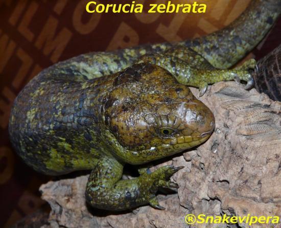 corucia-zebrata-6.jpg