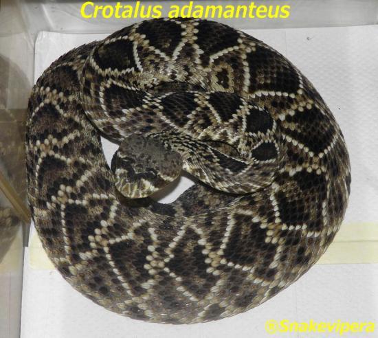 crotalus-adamanteus-2-1.jpg