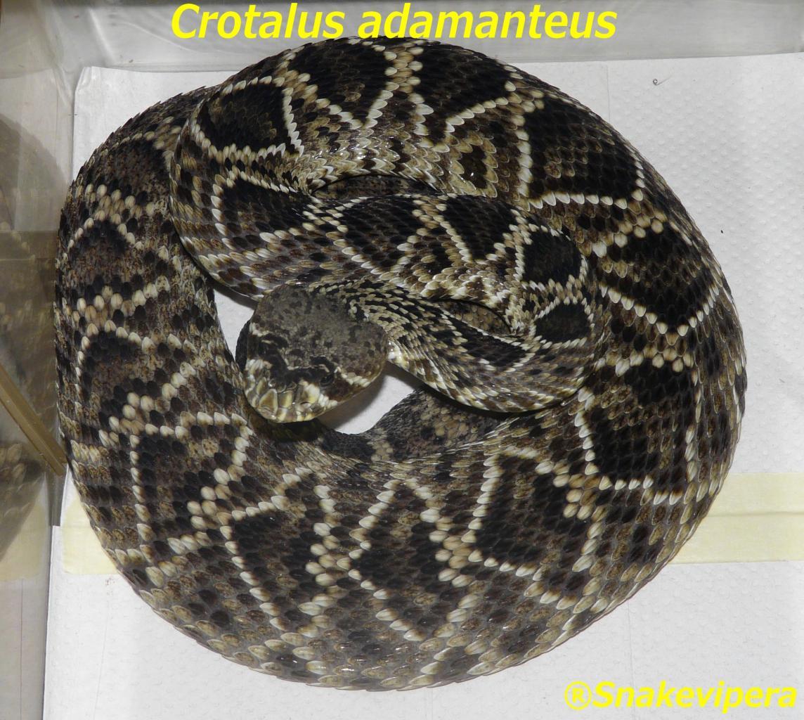 crotalus-adamanteus-2.jpg