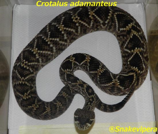 crotalus-adamanteus-3.jpg