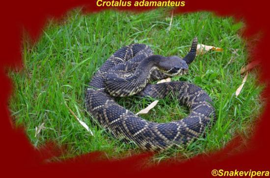 crotalus-adamanteus-41.jpg