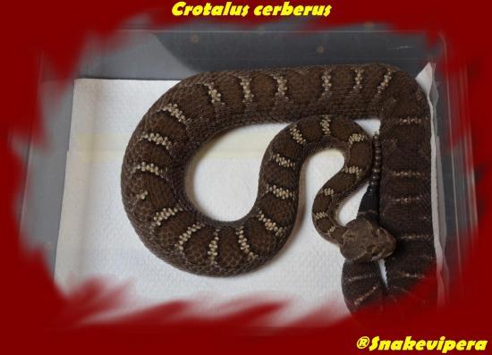 Crotalus cerberus 2