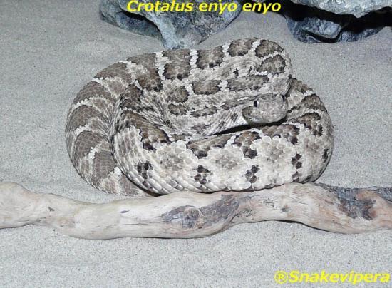 crotalus-enyo-2-1.jpg