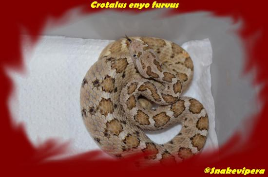 Crotalus enyo furvus 5