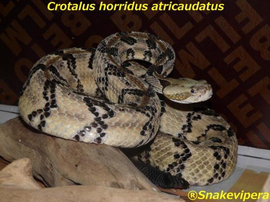 crotalus-horridus-atricaudatus-1-2.jpg