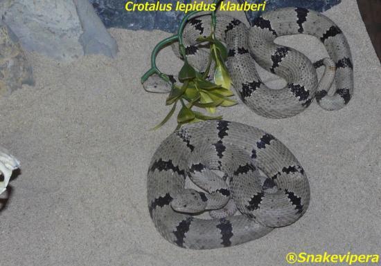 crotalus-lepidus-klauberi-3.jpg