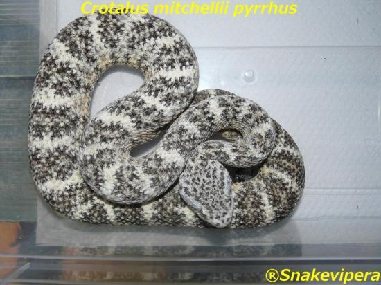 crotalus-mitchellii-pyrrhus-2.jpg