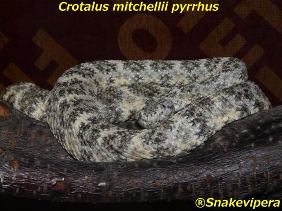 crotalus-mitchellii-pyrrhus-5.jpg