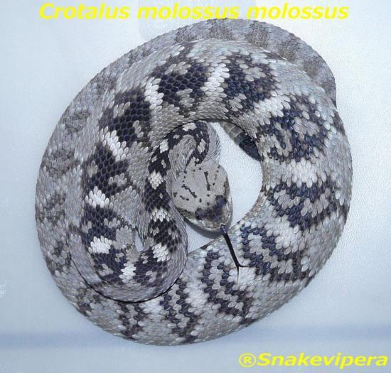 crotalus-molossus.jpg