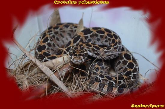 Crotalus polystictus 3