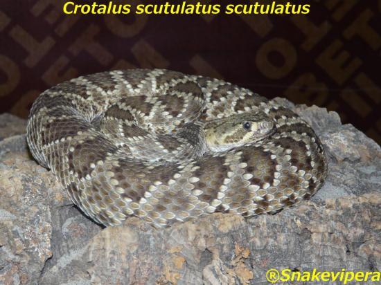 crotalus-scutulatus-scutulatus-1.jpg