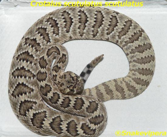 crotalus-scutulatus-scutulaus-1.jpg