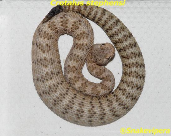crotalus-stefensi-1-1.jpg