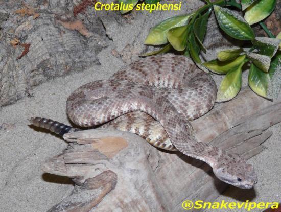 crotalus-stephensi-1.jpg
