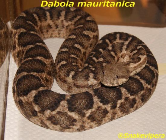 daboia-mauritanica-7.jpg