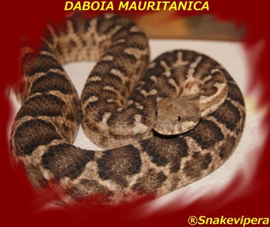 daboia-mauritanica-9.jpg