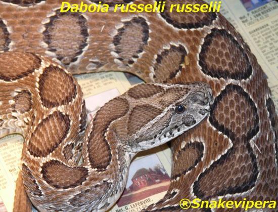 daboia-russelii-russelii-1.jpg