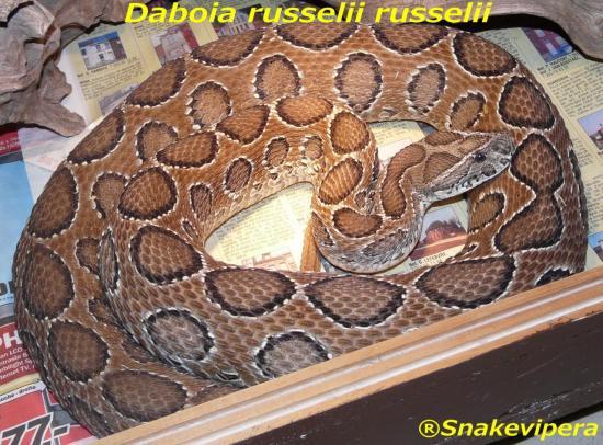 daboia-russelii-russelii-5-1.jpg
