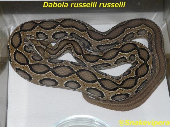 daboia-russelii-russelii-5.jpg