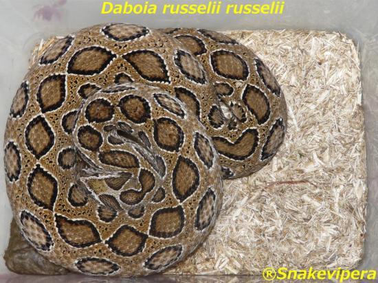 daboia-russelii-russelii-9.jpg