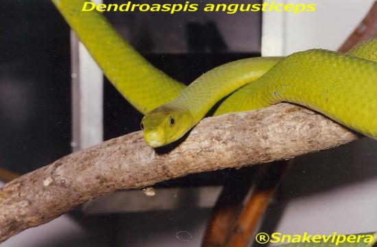 dendroaspis-angusticeps-10.jpg