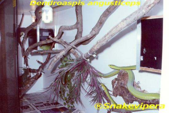 dendroaspis-angusticeps-4.jpg