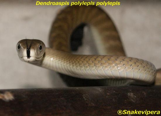 dendroaspis-polylepis-4.jpg