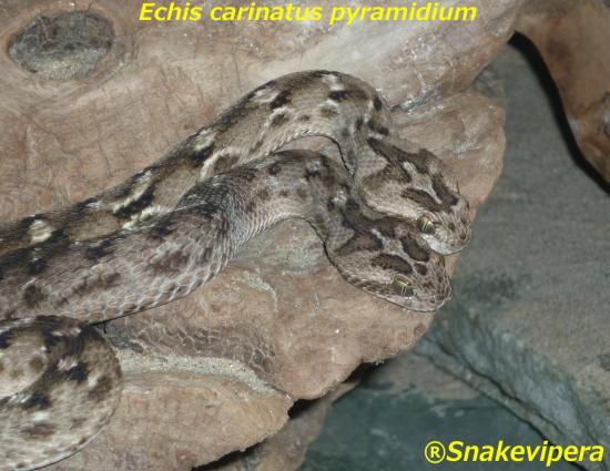 echis-carinatus-pyramidium-4-2.jpg