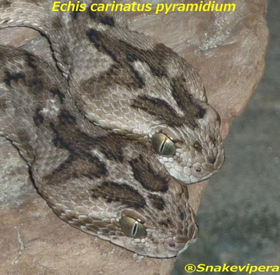 echis-carinatus-pyramidium-7-1.jpg