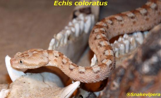 echis-coloratus-8.jpg