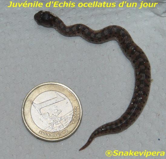 echis-ocellatus.jpg