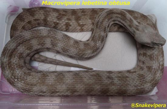 macrovipera-lebetina-obtusa-1.jpg